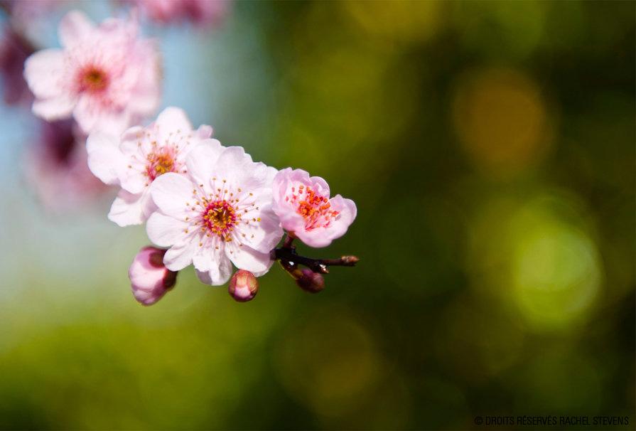 fleur_cerisier_rachel_stevens